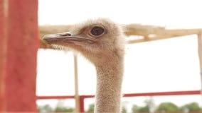 Cuello de la avestruz que mira en la situación de la distancia metrajes