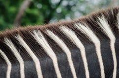 Cuello de la cebra con la melena Foto de archivo