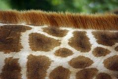 Cuello de la jirafa Fotos de archivo libres de regalías