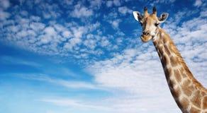 Cuello de la jirafa fotografía de archivo