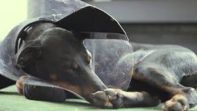 Cuello médico del perro del Doberman triste de la raza almacen de metraje de vídeo