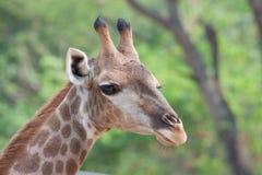 Cuello y pista de la jirafa Fotos de archivo