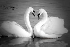 Cuellos del cisne que forman el corazón del amor fotos de archivo
