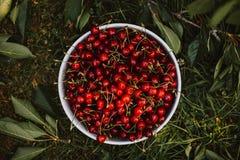 Cuenco blanco por completo de cerezas dulces rojas imágenes de archivo libres de regalías