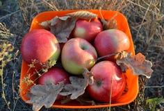 Cuenco de manzanas teniendo en cuenta el sol poniente, todavía del otoño vida hermosa foto de archivo libre de regalías