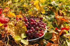 Cuenco del hierro con las uvas rojas foto de archivo libre de regalías