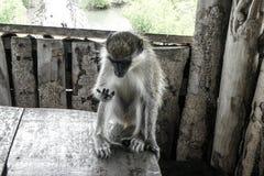 Cuenta del mono foto de archivo