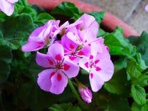 Cuenta doble rosada de las grúas del tono fotos de archivo