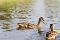 Cuente los patos, pato silvestre, platyrhynchos de las anecdotarios, nadando en el lago d soleada foto de archivo