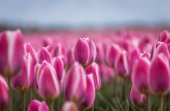 Cuente los tulipanes imagenes de archivo