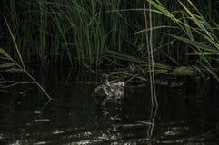 Cuentos del pato Imagen de archivo