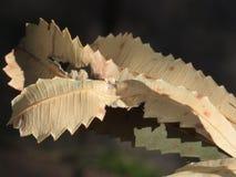 Cuentos torcidos del Banksia fotografía de archivo