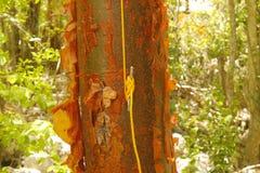 Cuerda asegurada al listón en árbol de abedul rojo Imagen de archivo libre de regalías