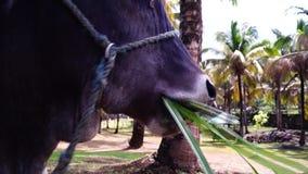 Cuerda principal de la vaca atada masticando la hierba del heno Dirija el tiro almacen de metraje de vídeo