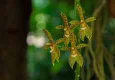 Cuerno-cervi del Phalaenopsis Imágenes de archivo libres de regalías