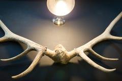 Cuerno de los ciervos en el fondo Imágenes de archivo libres de regalías