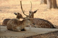 Cuerno largo de los ciervos de Chital Fotos de archivo libres de regalías