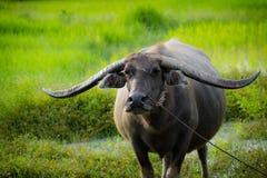 Cuerno largo del búfalo Imagenes de archivo