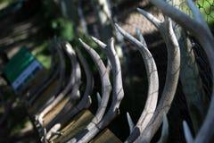 Cuernos de los ciervos imagen de archivo libre de regalías
