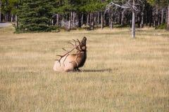 Cuernos de los ciervos que rasguñan el suyo detrás Foto de archivo libre de regalías