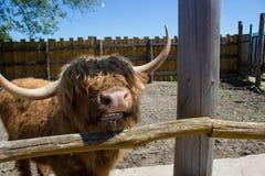 Cuernos de toro grandes Foto de archivo libre de regalías