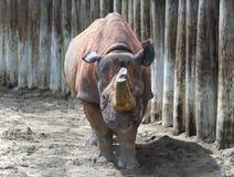Cuernos del rinoceronte aserrados-apagado en arena arenosa Imágenes de archivo libres de regalías