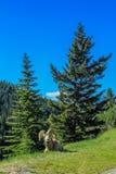 Cuernos grandes que descansan sobre un lado de la colina, parque nacional de Banff, Alberta, Canadá Imagen de archivo libre de regalías