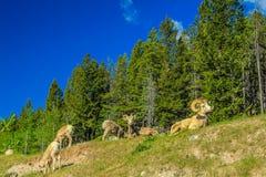 Cuernos grandes que descansan sobre un lado de la colina, parque nacional de Banff, Alberta, Canadá Fotografía de archivo