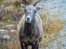 Cuernos grandes que se colocan al lado del camino, Jasper National Park, Alberta, Canadá Imagen de archivo
