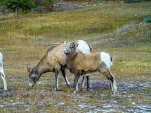 Cuernos grandes que se colocan al lado del camino, Jasper National Park, Alberta, Canadá Fotografía de archivo libre de regalías