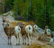 Cuernos grandes que se colocan al lado del camino, Jasper National Park, Alberta, Canadá Foto de archivo libre de regalías