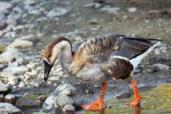 Cuerpo completo del ganso del cisne Imagen de archivo libre de regalías