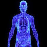 Cuerpo con el sistema digestivo Fotografía de archivo libre de regalías