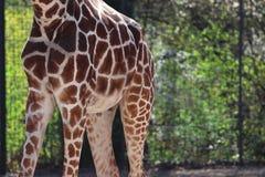 Cuerpo de la jirafa afuera en parque zoológico en Stuttgart en Alemania fotos de archivo