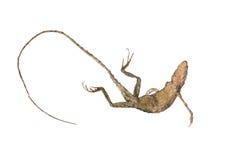 Cuerpo del camaleón aislado Imágenes de archivo libres de regalías