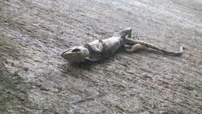 Cuerpo del lagarto foto de archivo libre de regalías