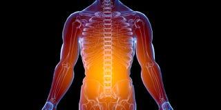 Cuerpo hembra-varón humano del rayo x Concepto de la anatomía El aislante, 3d rinde Fotos de archivo libres de regalías