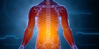 Cuerpo hembra-varón humano del rayo x Concepto de la anatomía El aislante, 3d rinde Fotos de archivo