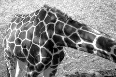 Cuerpo hermoso de la jirafa fotografiado en blanco y negro Fotos de archivo