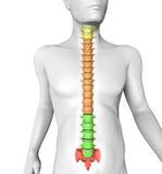 Cuerpo humano de la anatomía de la espina dorsal Imagen de archivo