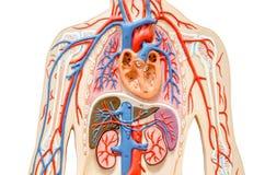 Cuerpo humano modelo con el hígado, el riñón, los pulmones y el corazón Imagenes de archivo