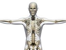 Cuerpo humano y esqueleto Imagen de archivo libre de regalías