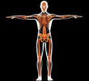 Cuerpo humano y esqueleto Imagenes de archivo