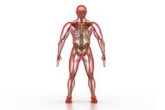 Cuerpo humano y esqueleto Foto de archivo