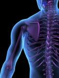 Cuerpo humano y esqueleto masculinos de la ilustración de la radiografía Imágenes de archivo libres de regalías