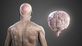 Cuerpo rotatorio con el cerebro y el esqueleto visibles stock de ilustración