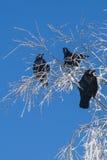 Cuervo Foto de archivo