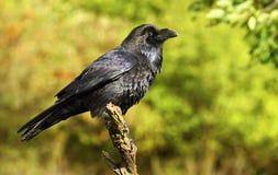 Cuervo agradable Foto de archivo libre de regalías