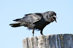 Cuervo americano Fotos de archivo