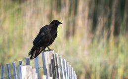 Cuervo americano en la playa de Hilton Head Island fotos de archivo libres de regalías